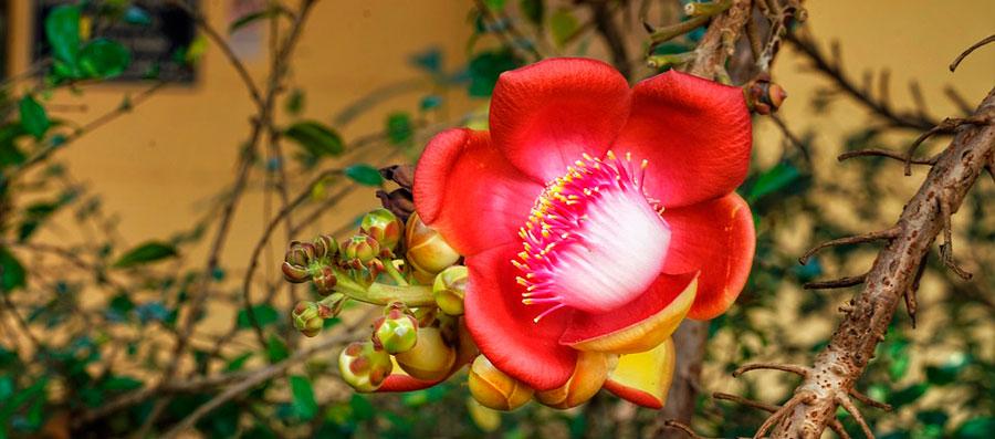 Самое необычное дерево - курупита гвианская